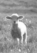 Sacrificial_lamb
